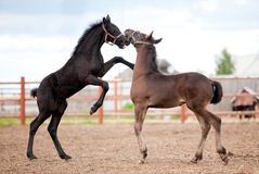 Two Friesian foals playing Stock Photos