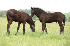 Two friesian foals standing on pasturage Royalty Free Stock Image