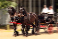 Two friesian horses