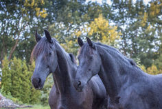 Two Friesians Stock Image