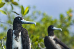 Two Frigate Birds with blue beak Royalty Free Stock Photography
