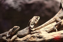 Two frill-necked lizard Royalty Free Stock Photography