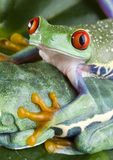 Two frog Royalty Free Stock Photos