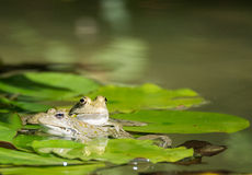 Two frog Stock Photo