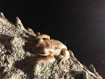 Frogs on tree. Two frog on a palm tree at night in Florida. Cuban Tree-frog & x28;Osteopilus septentrionalis& x29 Royalty Free Stock Images