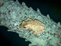 Frogs on tree. Two frog on a palm tree at night in Florida. Cuban Tree-frog & x28;Osteopilus septentrionalis& x29 Stock Images