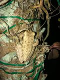 Frogs on tree. Two frog on a palm tree at night in Florida. Cuban Tree-frog & x28;Osteopilus septentrionalis& x29 stock photography