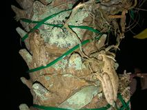 Frogs on tree. Two frog on a palm tree at night in Florida. Cuban Tree-frog & x28;Osteopilus septentrionalis& x29 Royalty Free Stock Image