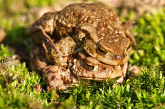 Two frog Stock Photos