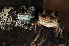 Two frogs-1. Two tree frogs in the terrarium Stock Image