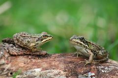 Free Two Frogs Royalty Free Stock Photography - 1187277