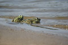 Two frogs. Sitting on the lakeside and looking into the distance Stock Images