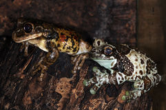 Two frogs-3 Stock Photo