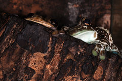 Two frogs-4. Two tree frogs in the terrarium Stock Images