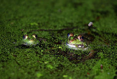 Two Frogs. In a pond covered in duckweed royalty free stock photo