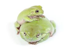 Two frogs Royalty Free Stock Photography