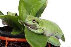 Two frogs Royalty Free Stock Image