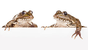 Two frogs Royalty Free Stock Images