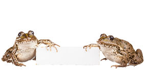Two frogs Stock Images