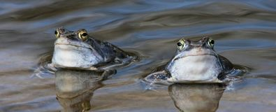 Two frogs blue Royalty Free Stock Photography