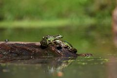Two frogs on a branch drying in the sun stock photography