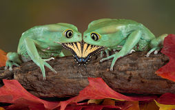 Two frogs eating one butterfly Stock Photos