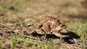 Two frogs - european toad. (couple stock footage