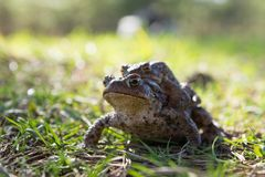 Two frogs - european toad (couple) Royalty Free Stock Photos