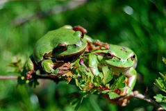 Two frogs friendship Royalty Free Stock Image