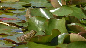 Two frogs on lily pads, one croaking stock footage