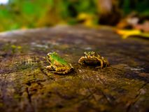 Two frogs Stock Photography