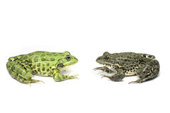 Two frogs look at each other Stock Images