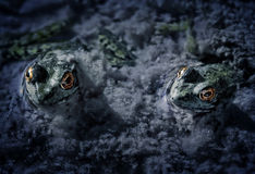 Two Frogs Macro Dark. Two frogs enjoy an evening in the mucky water Royalty Free Stock Photography