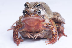 Two frogs mating Royalty Free Stock Images