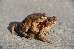 Two frogs. One sits on the other. Frogs crawl through asphalted road Stock Image
