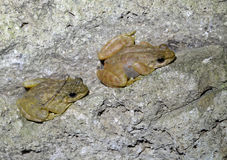 Two frogs. This two frogs perched on a cliff near the water, waiting for preying Stock Images