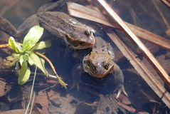 Two Frogs in a Pond Stock Images