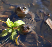 Two Frogs in a Pond Royalty Free Stock Photography