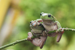 Two Frogs Stock Photo