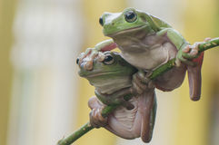 Two Frogs Royalty Free Stock Photo