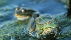 Two Frogs in River stock video footage