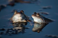 Two frogs in spring in a pond in Transylvania. Two european common frogs in a pond in spring in Transylvania. On the surface of the water is frog spawn Stock Photography