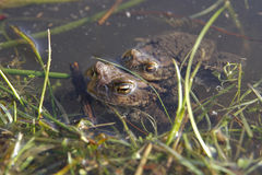 Two frogs swimming in a lake Stock Image