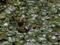 Two frogs royalty free stock photos