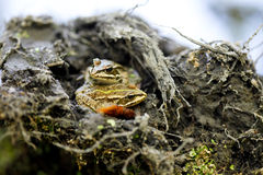 Two frogs in wildness Royalty Free Stock Image