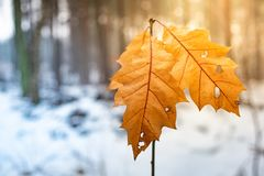 Two frosted maple leaves hang off a small tree in a snowy landscape during the winter. Background stock image