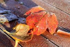 Two Frosty Leaves on Red Wooden Table Stock Photo