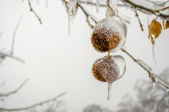 Two frozen chestnut shells in Winter, hanging from a tree branch, covered in large icicle caps. Winter scene after days with rain. Followed by freezing royalty free stock photo