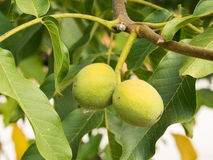Two fruits of Juglans regia on the branch. Royalty Free Stock Photography
