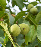 Two fruits of Juglans regia on the branch. Stock Photography